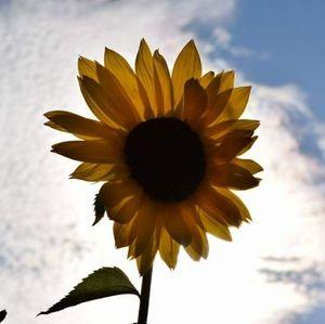 5x7 Sunflower Photo